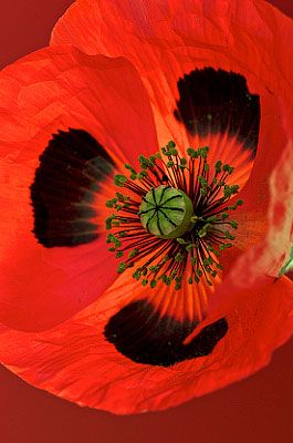 Ladybird Poppy Photograph